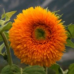 170911 Haiming Sonnenblume2